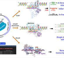 CRISPR toolkit for Actinomyces